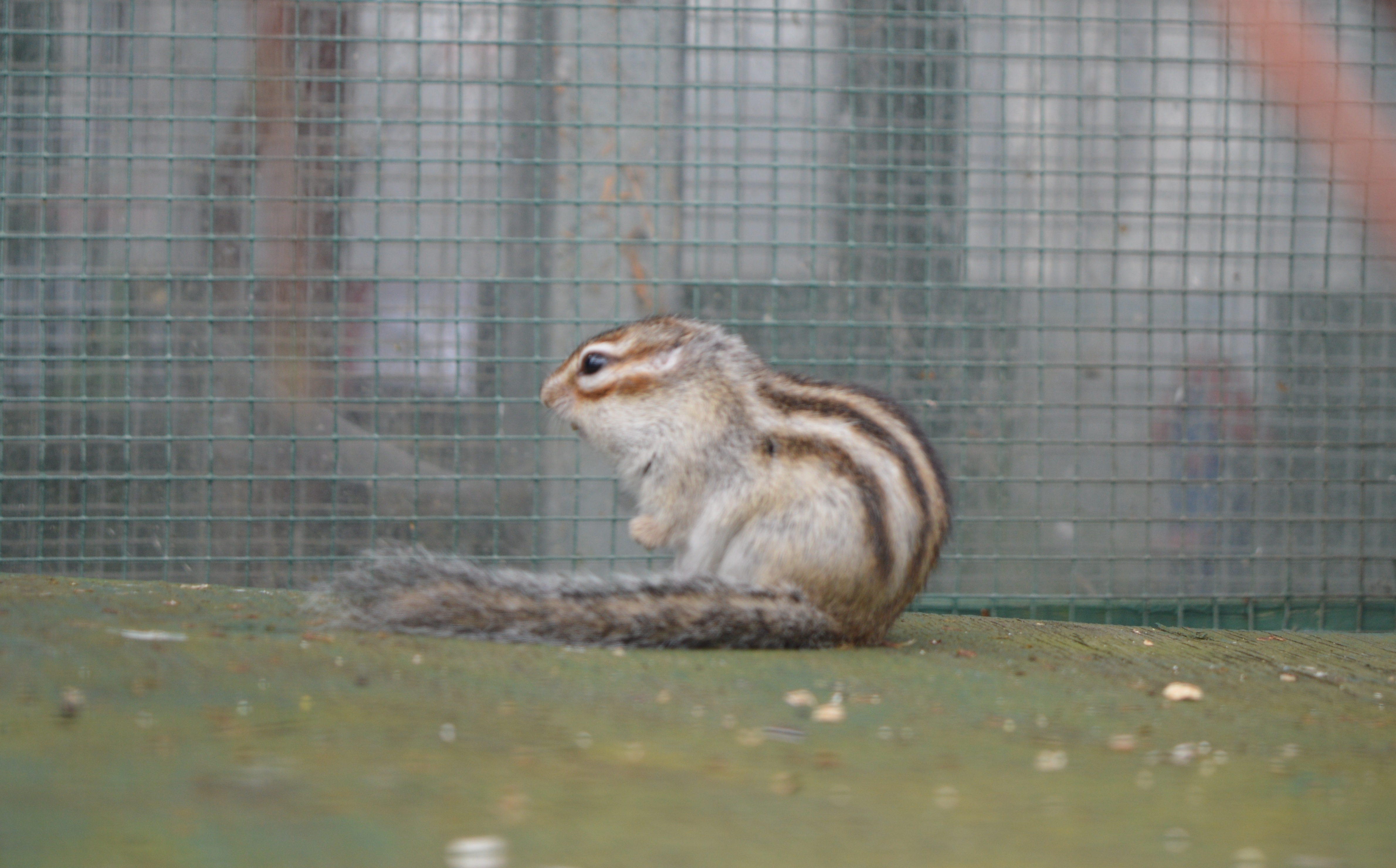 Chipmunk at Alcorn's Tropical World in Letterkenny, Donegal
