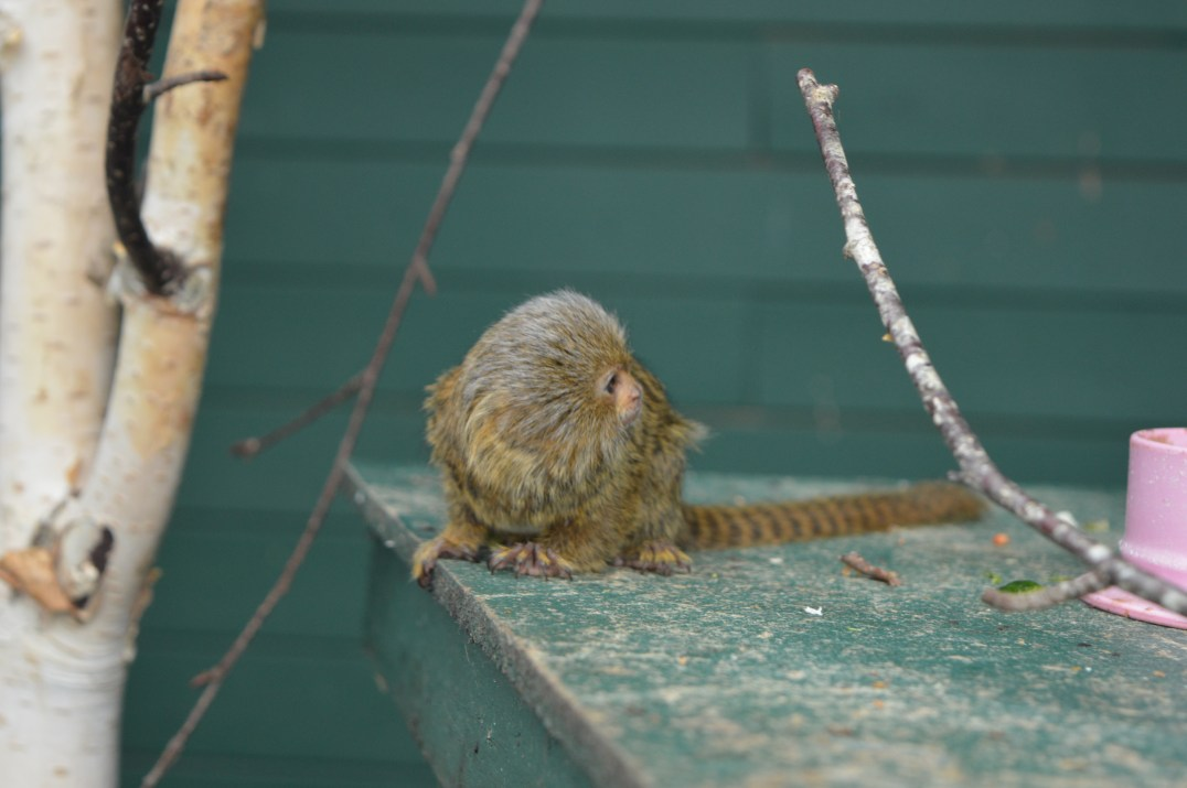 Pygmy Marmoset Monkey at Tropical World in Letterkenny, Ireland