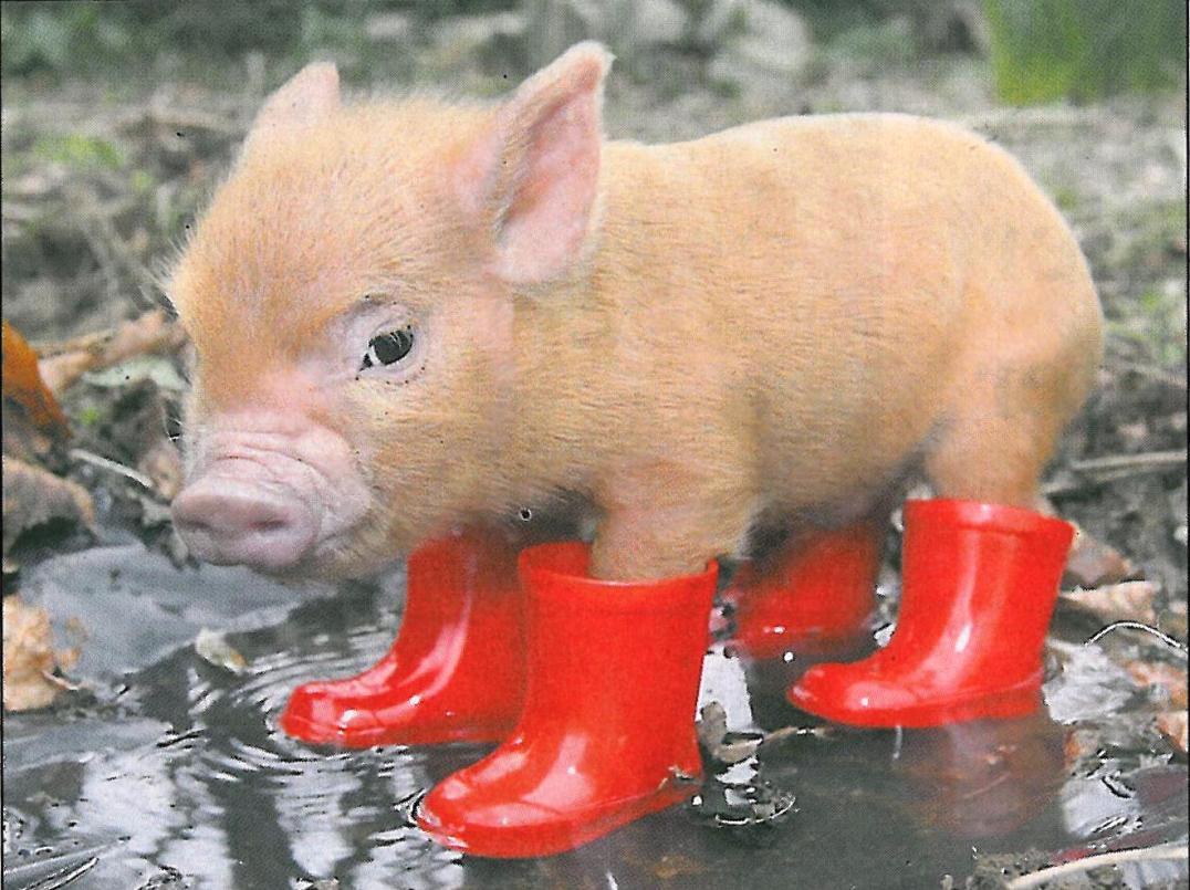 Cute little festival piggy wearing bright red wellies