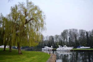 Weeping willow tree on the bank of the River Thames