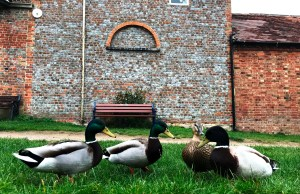 Ducks at the Boat House in Wallingford