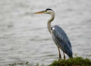 Grey heron on the bank of the River Thames