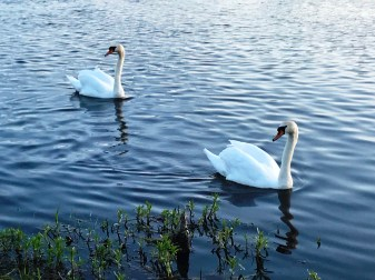 Mute swans take to the River Shannon