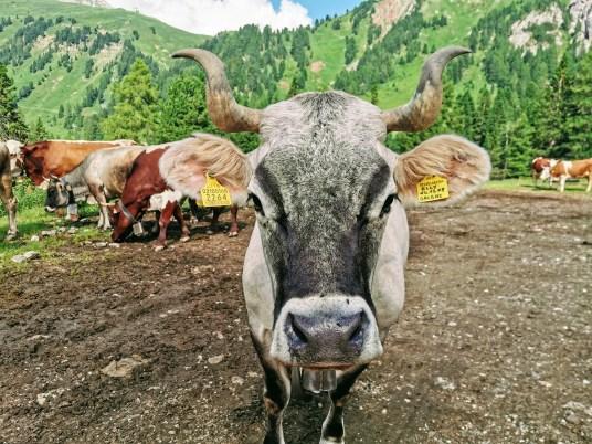 Elly the cow at Malga Pampeago, Italy