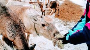 Hand feeding reindeer at Vaara Reindeer Farm, Ranua
