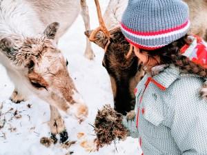 Hand feeding lichen to reindeer at Vaaran Porotila in Ranua, Finland