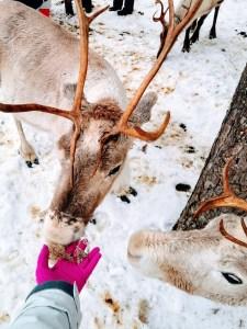 Feeding reindeer at Vaara Reindeer Farm in Ranua, Finland.