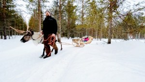 Reindeer sleigh ride at Vaara Reindeer Farm