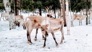 Reindeer herd at Vaara Reindeer Farm in Ranua, Finnish Lapland