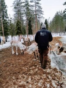 Hannu Joutasniemi Tending to his reindeer herd