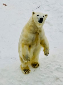 Polar Bear standing on his hind legs at Ranua Zoo
