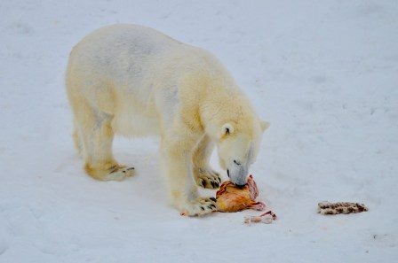 Polar Bear eating breakfast at Ranua Zoo, Finnish Lapland