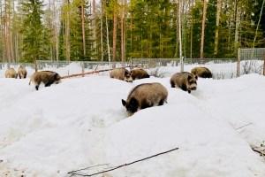 Wild Boar at Ranua Zoo, Finland