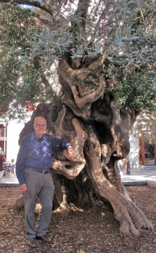 1000 year old olive tree Palma, Mallorca