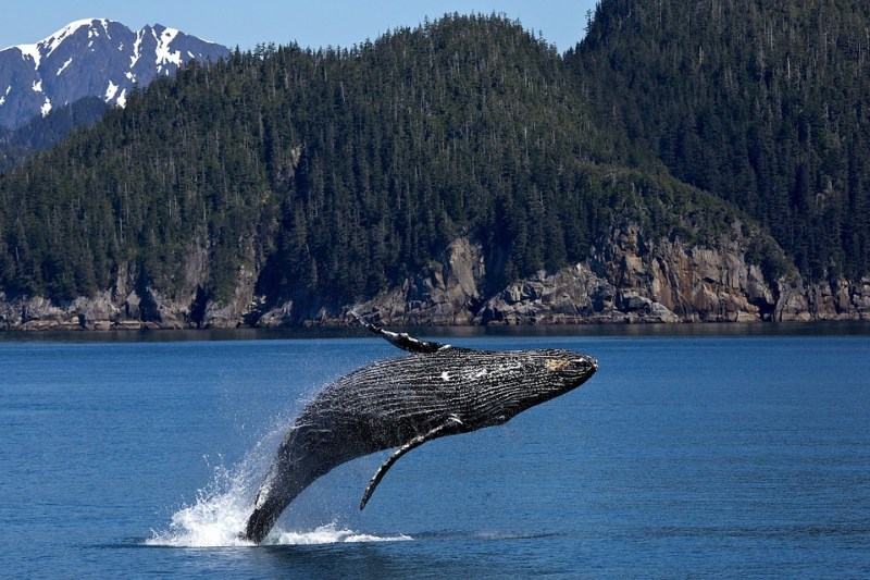 humpback aliwal