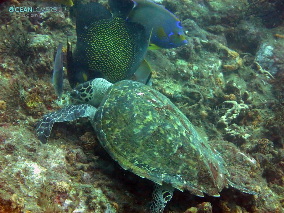 turtle tayrona
