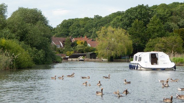 geese at broads