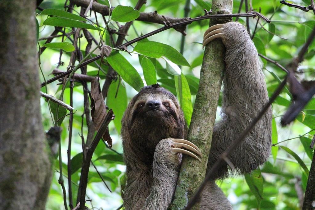 sloth in cartagena