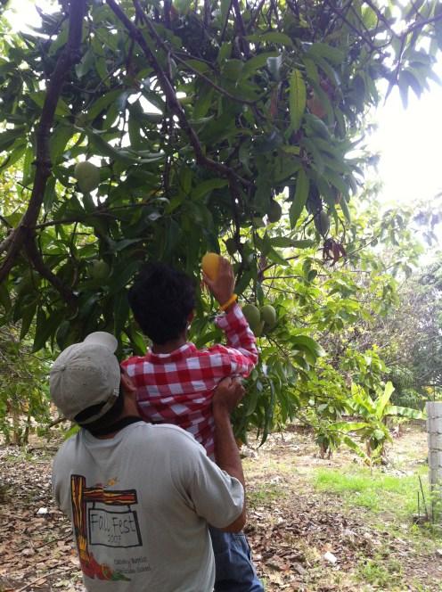 Mango Picking