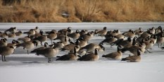 img_0530-geese