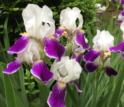 Purple & White Irises