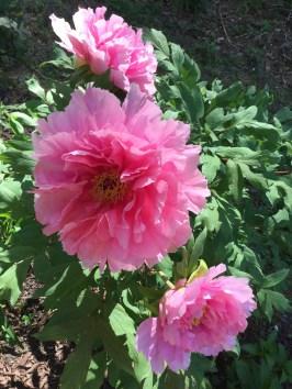 Pink Tree Peonies