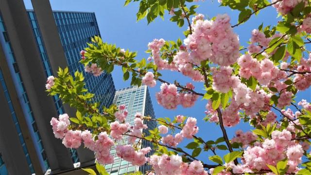 Cerisiers en fleurs Londres
