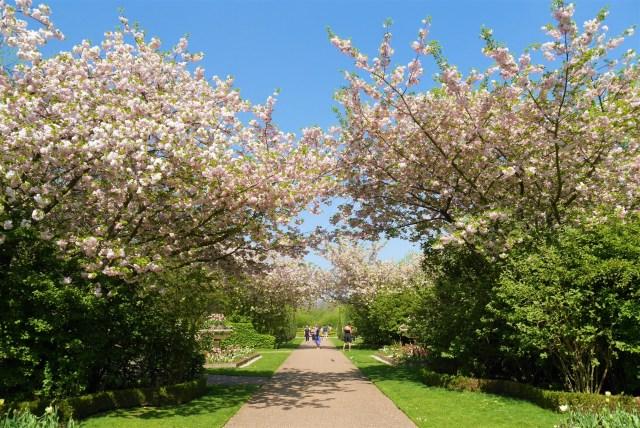 Regents Park cerisiers printemps sakura arpenter le chemin blog