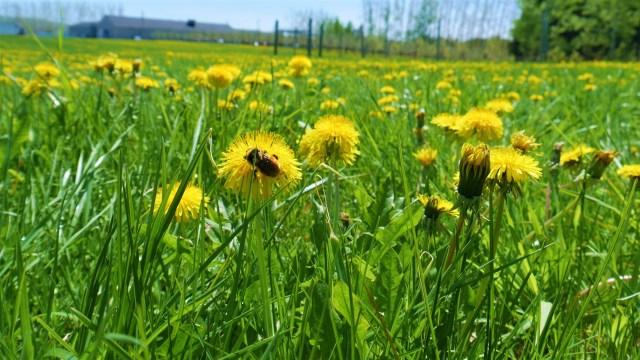 abeille pommiers verger belliveau