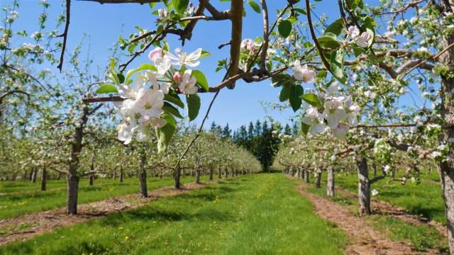 fleurs pommiers verger belliveau arpenter le chemin