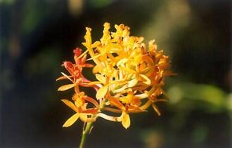 Winay_Wayna_Orchid