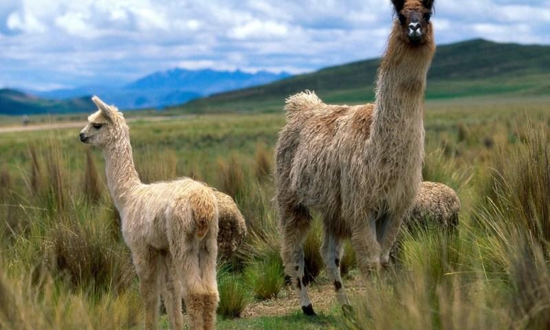 Consejo Nacional de Ciencia, Tecnología e Innovación del Perú financia investigación para recuperar calidad genética de camélidos