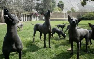 perros-sin-pelo-del-peru