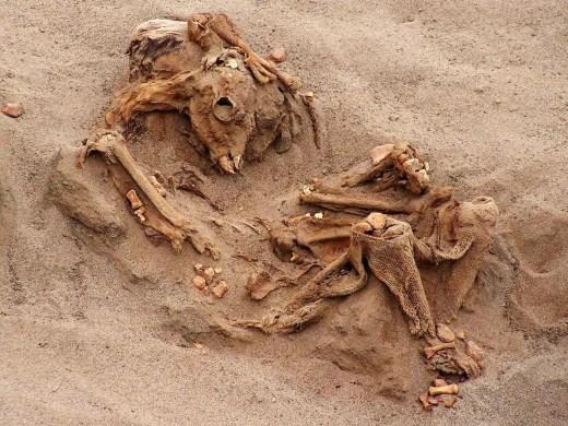 Muchas de las 200 llamas sacrificadas están tan bien conservadas que, después de 500 años, los investigadores pudieron recuperar las cuerdas con las que estaban atadas, el contenido estomacal y los restos de plantas atrapados en su pelaje. FOTOGRAFÍA DE GABRIEL PRIETO