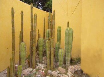 cactus san pedro museo tucume