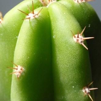 san pedro planta alucinogena