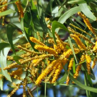 EI-acacia auriculiformis