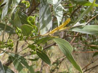 EI-acacia-holosericea