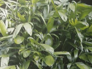ENMA-bactris-bahiensis