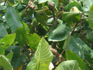 ENMA-montrichardia-linifera
