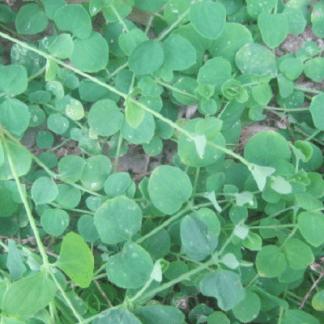 Drymaria cordata (invasora)