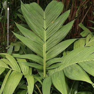 Pinanga kuhlii (invasora)