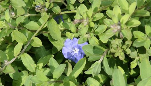 Evolvulus glomeratus espécie nativa do Rio Grande do Sul