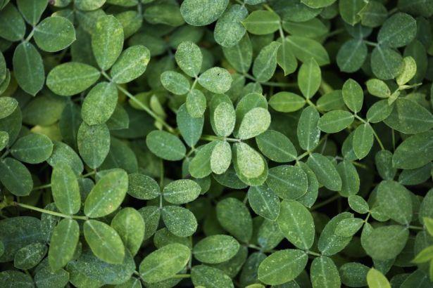 Textura de folhas verdes da grama amendoim