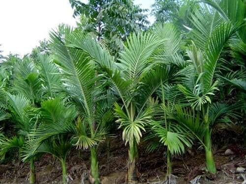 Cultivo do palmito pupunha não é favorável à preservação do juçara no litoral, diz Ademadan 2