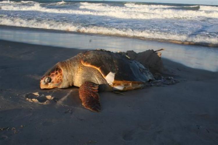 De acordo com biólogo do Projeto Tamar, morte pode ter sido causada por contato com rede de pesca