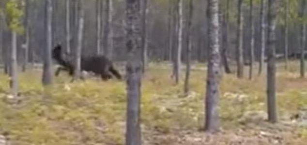 lobo-gigante