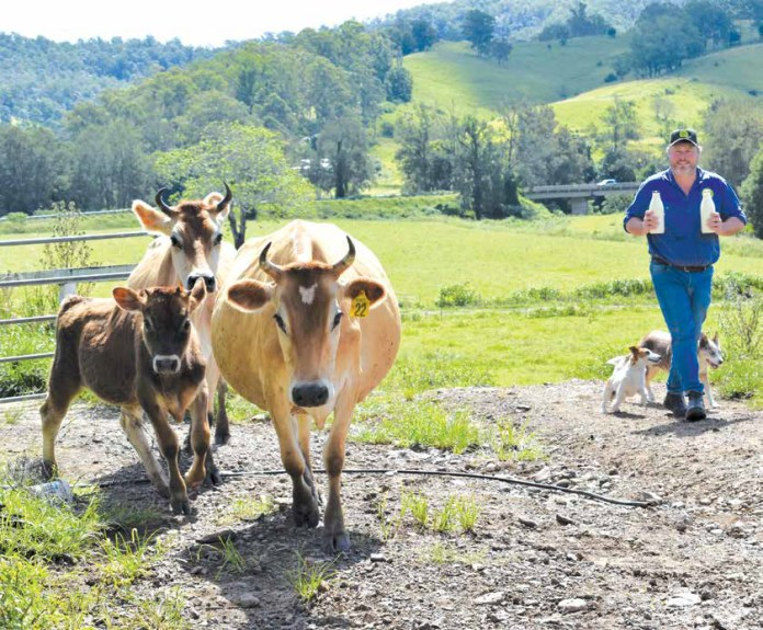 Shane Hickey and cows