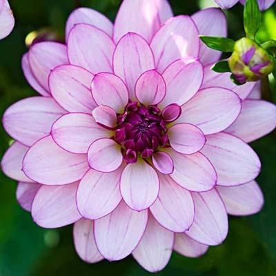 1648f4e01b50d7629559b12f42d6dbc6–dahlia-flowers-summer-flowers