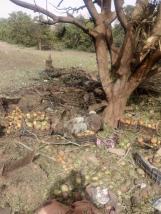serangan jet Saudi ke kebun Mangga